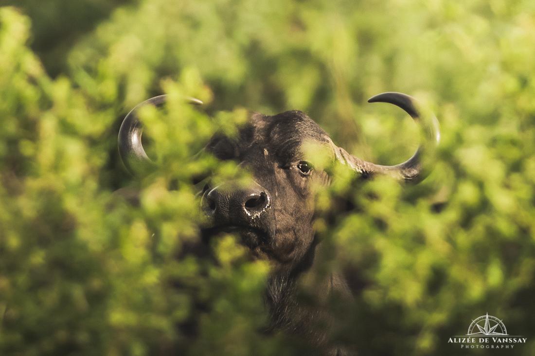 Buffalo - Namibia
