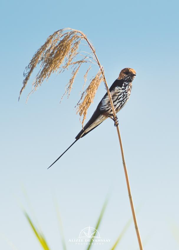 Lesser Striped Swallow - Namibia