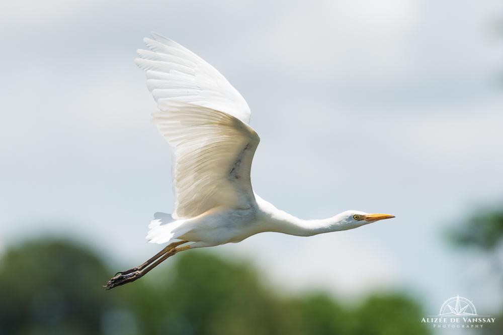 Great Egret - Namibia