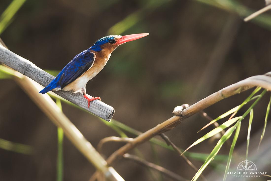 Malachite Kingfisher - Namibia