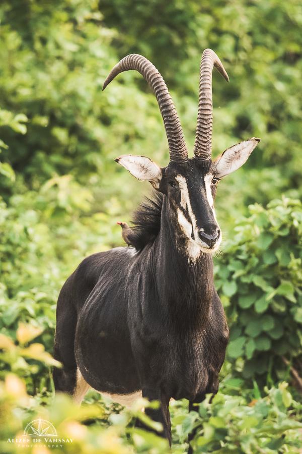 Sable Antelope - Namibia