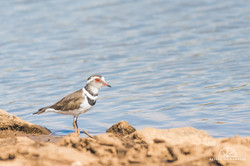 Three-banded Plover - Namibia