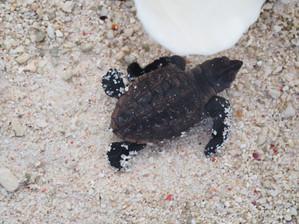 Lady Elliot Island: Rays & Turtles
