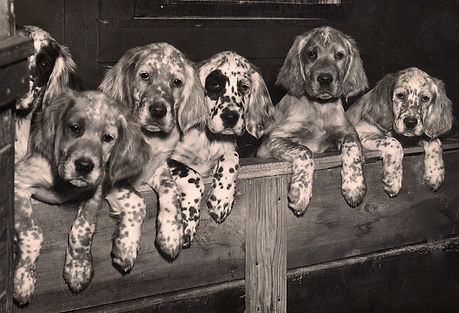 Twombly Setter puppies