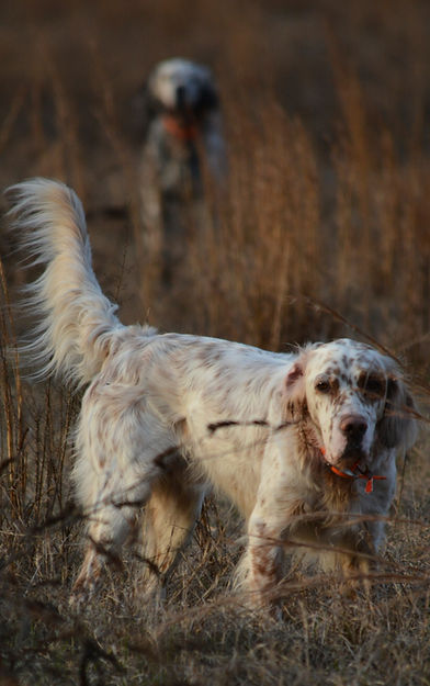English Setters on point, Twombly Setters