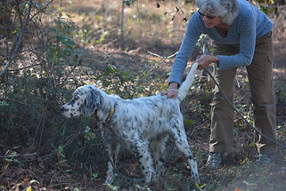 English Setter on point