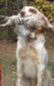 English Setter retrieves grouse
