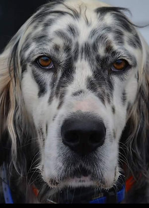 Squire, male English Setter