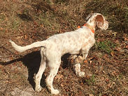 English Setter Pup on point