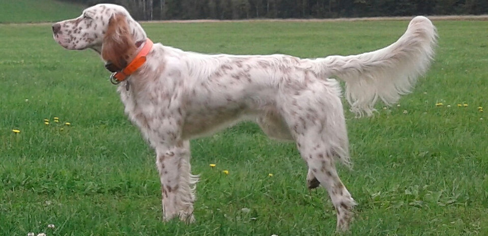 Earl's Promise, pointing dog, English Setter