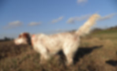 Burdock's Coronation, an English Setter