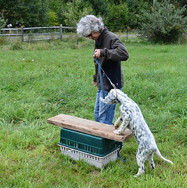 English Setter, puppy, dog training