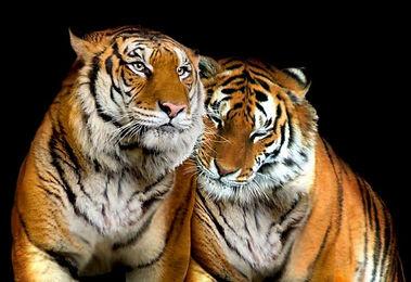 tiger.love.jpg