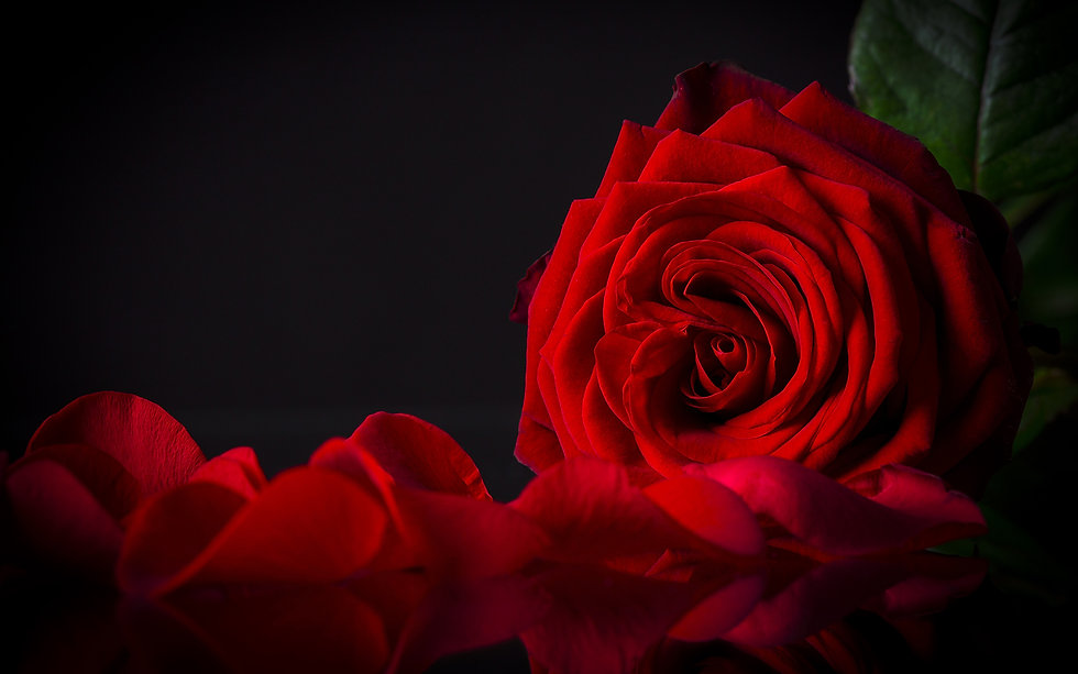 Roses_Closeup_Black_background_Red_Petal