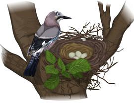 Jay's nest