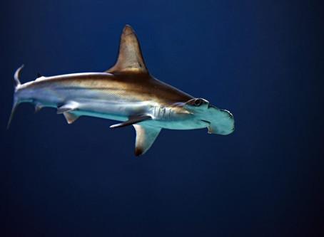 ESPAÑOL Nueva zona de cría de tiburones martillo descubierta en las Islas Galápagos