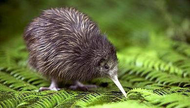 baby-kiwi-chick.jpg