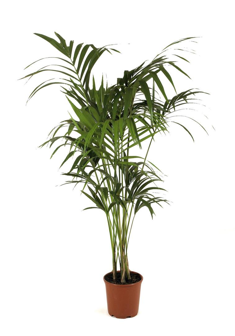 Kentia Palm - Jungle Prop Hire - Staging Services