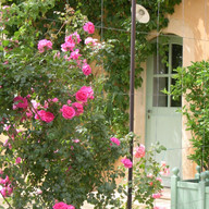 Les rosiers Pink Lady