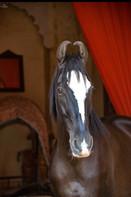 HORSE INDIA Marwari ~ Stallion Alivansh