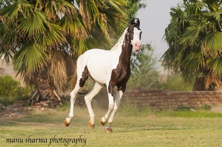 HORSE INDIA Marwari ~ Breeding Mares