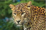Leopard India Jawai