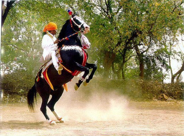 HORSE INDIA Marwari ~ Stallion Alibaba