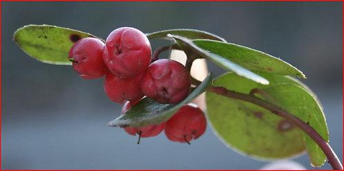Wintergreen Essential Oil 5 mL