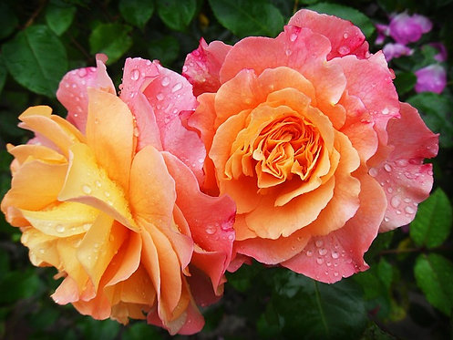 """""""Patchouli-Rose"""" Aromatherapy Blend ©  4oz."""