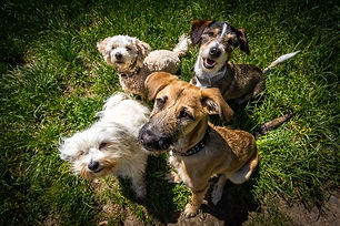 group-dogs-playing-in-grass.jpg.653x0_q8