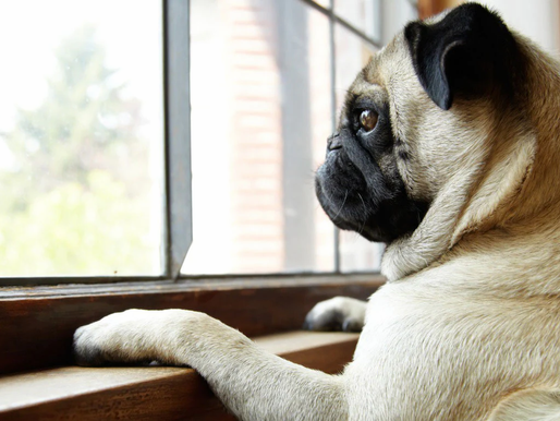 Going Back To Work Soon with a New Puppy at Home? Let's Tackle Separation Anxiety