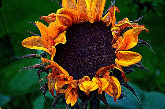 Elizabeth's Sunflower