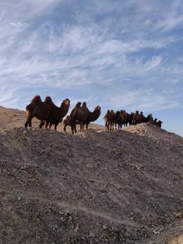 camel.jpeg