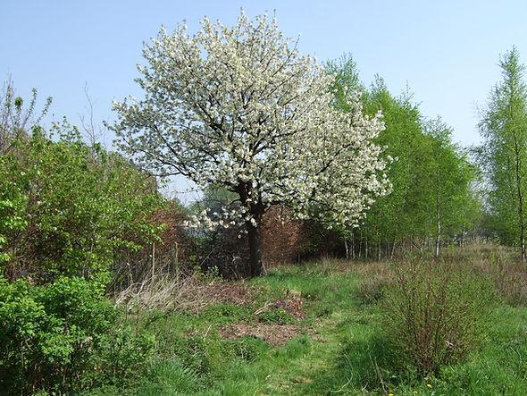 043.kersenboom.JPG