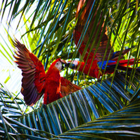 ara macaws