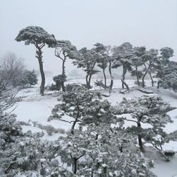 눈온 날 소나무