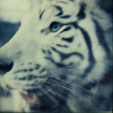 Portrait of a white Tiger#contemporary photography ISLER
