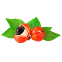 paullinia-cupana-kunth.png