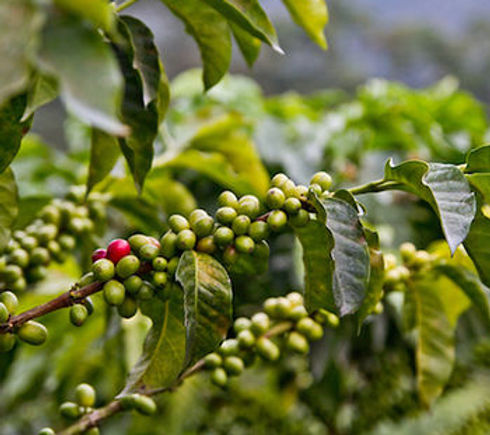 Welcome_dose_coffee-cherry-in-colombia.j