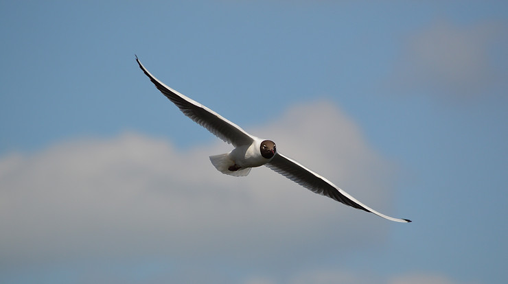 A black headed gull