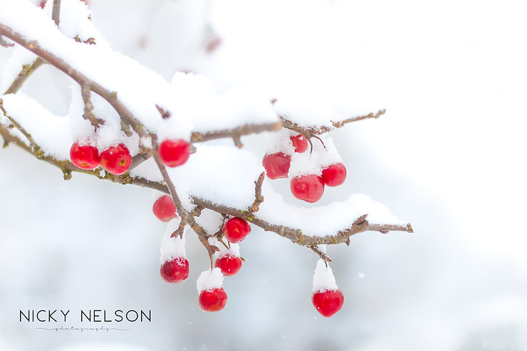 Macro shot of crab apples in the snow