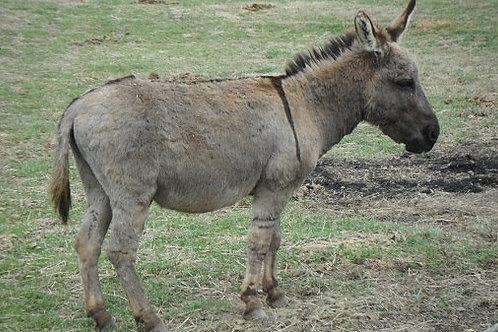 Miniature Donkey Gelding Doorbell