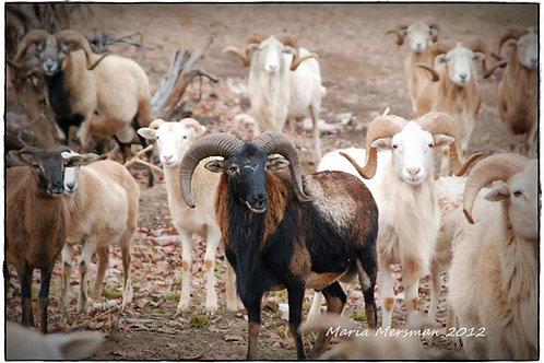 Sheep, Goats & More!