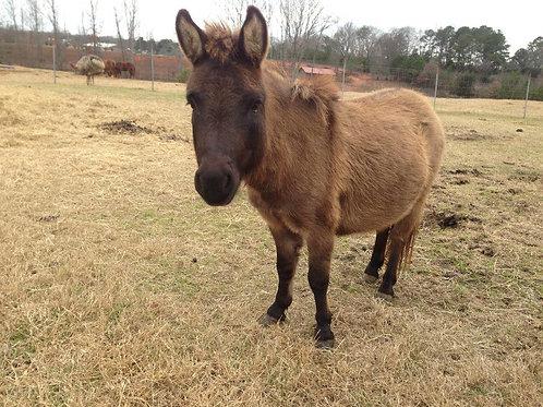 Boomer Miniature Mule Gelding