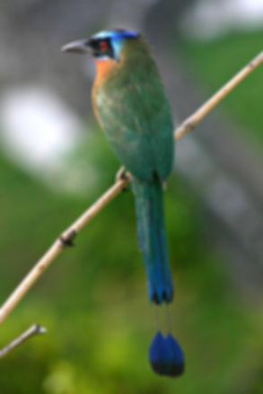 500px-Blue-crowned_Motmot_back_2.jpg