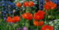 poppies-orange-flowers-garden-design_118