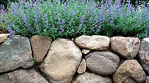 Boulders and Catmint