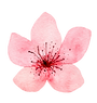 spring cherry_edited.png