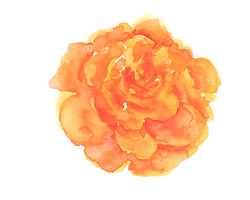 tagetes2.png
