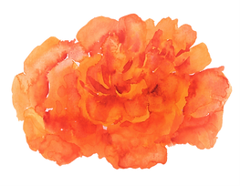 tagetes1.png